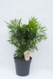 Palma koralowa (łac. Chamaedorea elegans) Chamedora