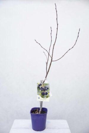 Aronia śliwolistna 'Aron' (łac. Aronia prunifolia 'Aron')