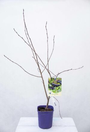 Aronia śliwolistna 'Nero' (łac. Aronia prunifolia 'Nero')