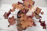 Żurawka 'Boysenberry' (łac. Heuchera 'Boysenberry')