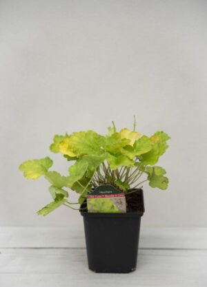 Żurawka Little Cutie 'Blondie in Lime' (łac. Heuchera Little Cutie 'Blondie in Lime')