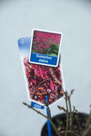 Trzmielina oskrzydlona Euonymus alatus H30 P17
