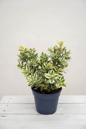 Hebe Andersona 'Variegata' (łac. Hebe × andersonii 'Variegata')