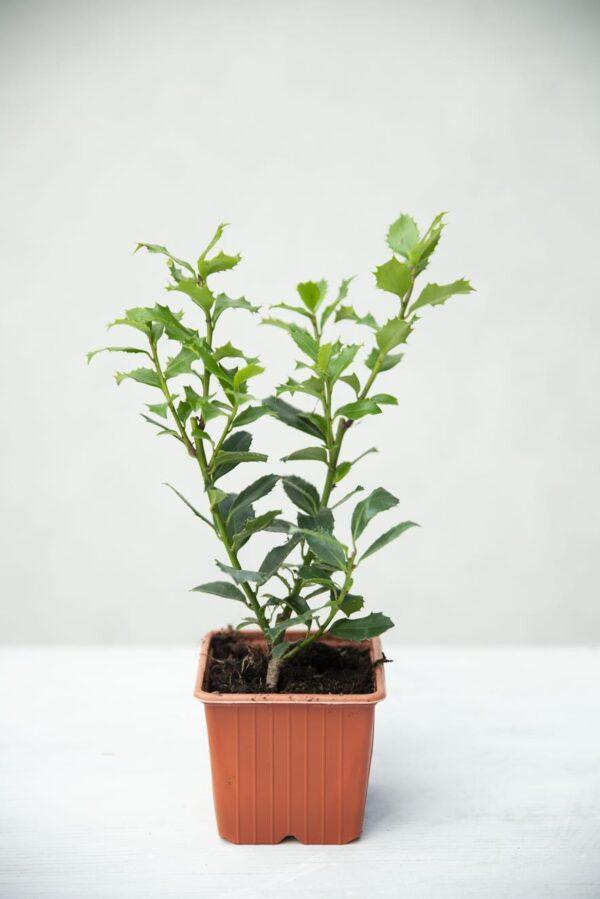 Ilex × meserveae 'Heckenpracht' (łac. ostrokrzew Meservy 'Heckenpracht')