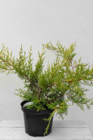 Jałowiec chiński 'Kuriwao Gold' (łac. Juniperus chinensis 'Kuriwao Gold')