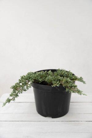 Jałowiec płożący 'Ice Blue' (łac. Juniperus horizontalis 'Ice Blue')
