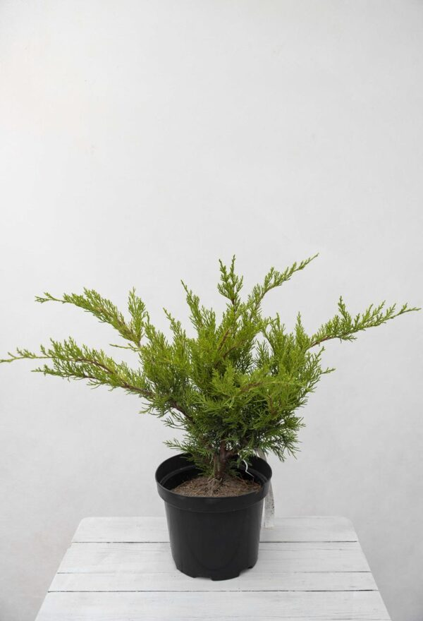 Jałowiec Pfitzera 'Mint Julep' (łac. Juniperus × pfitzeriana 'Mint Julep')