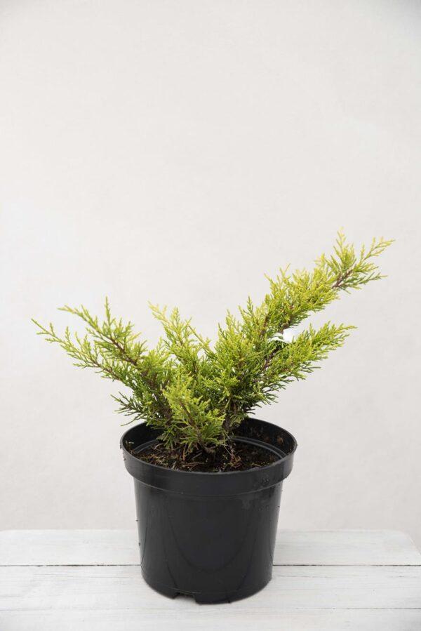 Jałowiec Pfitzera 'Old Gold' (łac. Juniperus ×pfitzeriana 'Old Gold')