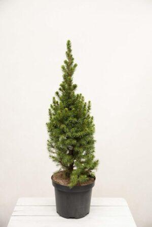 Świerk biały 'Conica' (łac. Picea glauca 'Conica')