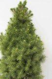 905-00089 Picea glauca'Conica' (1)