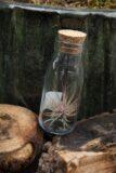 tillandsia Oplątwa w szklanej butelce z kOrkiem