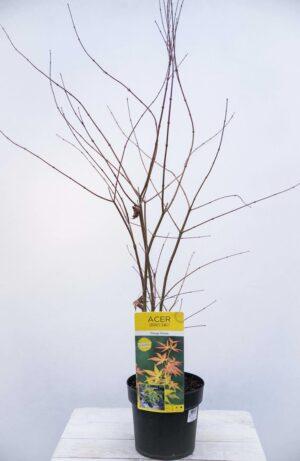 040-04591 klon palmowy Acer palm. Orange Dream