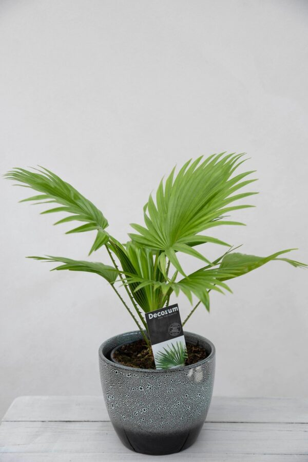 040-04791 Liwistona okrągłolistna (łac. Livistona rotundifolia)