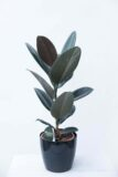Ficus el. Abidjan Ficus sprężysty