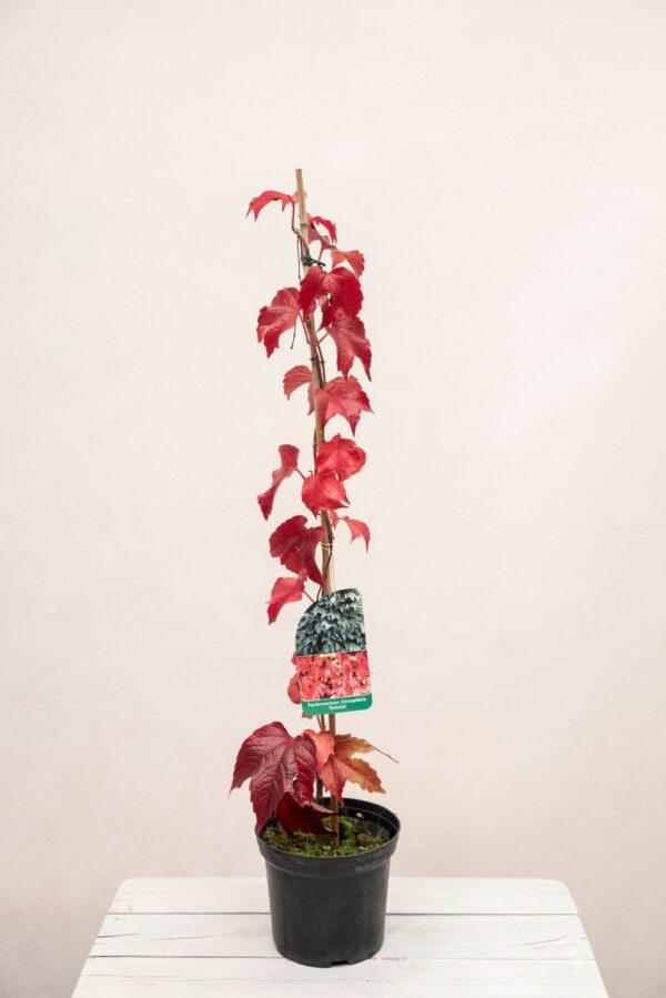 710-00456 Winobluszcz trójklapowy 'Veitchii' (łac. Parthenocissus tricuspidata 'Veitchii')