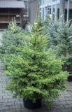 Świerk kłujący (łac. Picea pungens) Świerk srebrny