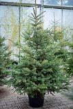 710-03285 Świerk srebrny (łac. Picea pungens) W DONICY - KLASA STANDARD 180 cm