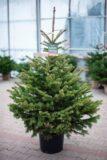 710-03891 Świerk srebrny (łac. Picea pungens) W DONICY - KLASA STANDARD 120 cm