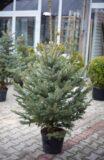 710-04500 Świerk kłujący (łac. Picea pungens) Świerk srebrny