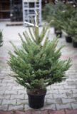 710-04501 Świerk kłujący (łac. Picea pungens) Świerk srebrny