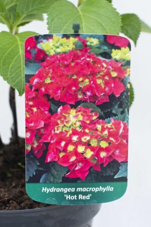 710-04506 Hydrangea macrophylla Hortensja ogrodowa 'Hot Red' (2)