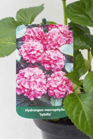 710-04508 Hydrangea macrophylla Hortensja ogrodowa 'Sybilla' (2)