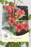 710-22447 Campsis radicans'Gabor'C2 (2)
