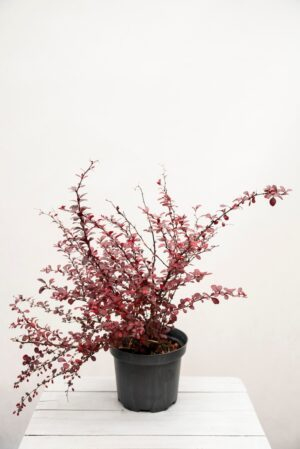 905-00057 Berberys 'Dart's red lady' (łac. Berberis 'Dart's red lady')