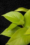 Epipremnum-złociste-'Golden-Pothos-łac.-Scindapsus-'Golden-Pothos-