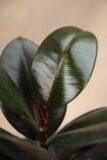 Figowiec Sprężysty 'Abidjan' Ficus Elastica 'Abidjan