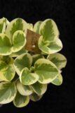 Peperomia Tępolistna 'Obtipan Bicolor' (Peperomia Obtusifolia 'Obtipan Bicolor')