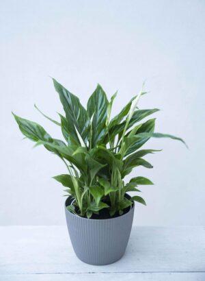 Skrzydłokwiat 'Bellini' (łac. Spathiphyllum 'Bellini') (1)
