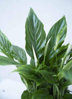 Skrzydłokwiat 'Bellini' (łac. Spathiphyllum 'Bellini')