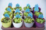 Muchołówka (łac. Dionaea muscipula) + DONICZKA GRATIS (2)