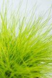 520-04762 Deschampsia flexuosa 'AmiLime' Śmiałek…'AmiLime' (2)