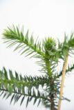 710-00178 Araucaria araucana Araukaria chilijska (2)