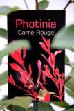 710-00827 Photinia fraseri 'Carre Rouge' Głogownik fraseri 'Carre Rouge' 2