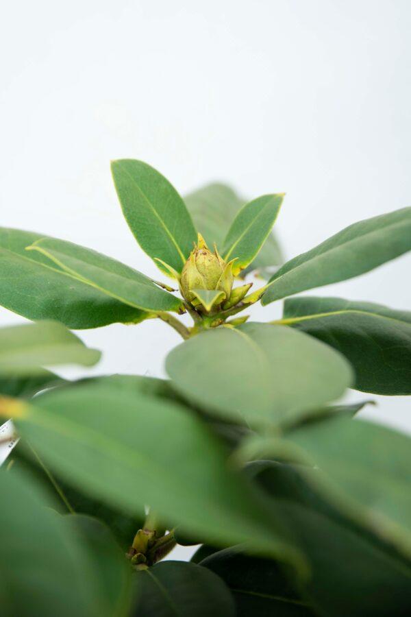 710-00845 Rhododendron 'Germania' Różanecznik 'Germania' (2)