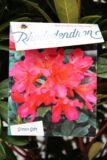 710-00854 Rhododendron 'Scyphocalix' Różaneczni…'Scyphocalix'2