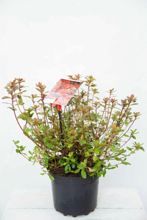710-00873 Rhododendron (AJ) 'Addy Wery' Różanec… 'Addy Wery'