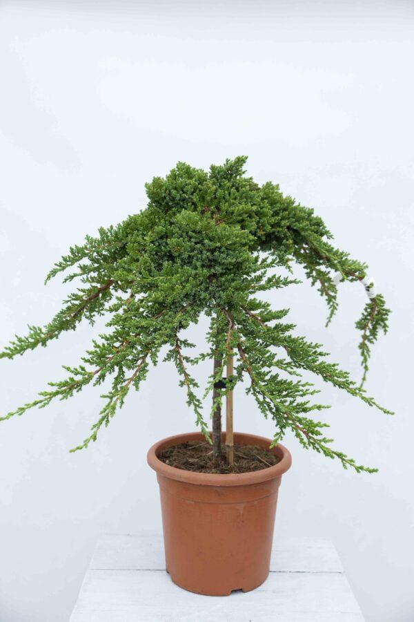 710-00891 Juniperus proc. 'Nana' Jałowiec rozesłany 'Nana' (1)