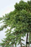 710-00891 Juniperus proc. 'Nana' Jałowiec rozesłany 'Nana' (2)