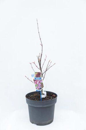 710-00916 Acer pal. 'Bloodgood' Klon palmowy 'Bloodgood' (1) (Copy)