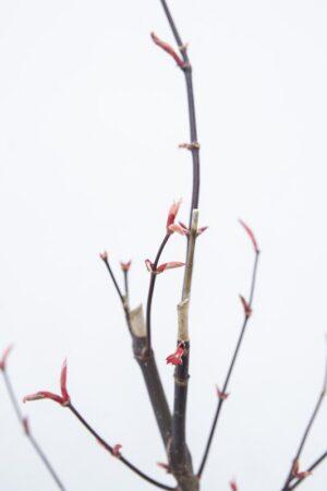 710-00916 Acer pal. 'Bloodgood' Klon palmowy 'Bloodgood' (2) (Copy)