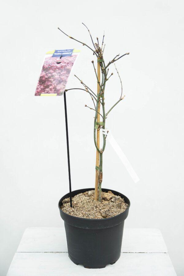 710-00921 Acer pal. 'Inaba-shidare' Klon Palmowy 'Inaba-Shidare'