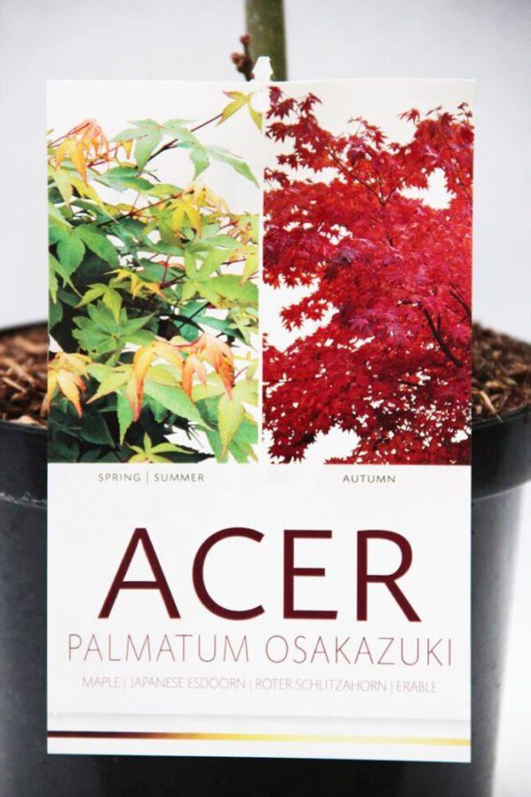 710-01006 Acer pal. 'Osakazuki' Klon palmowy 'Osakazuki' 2