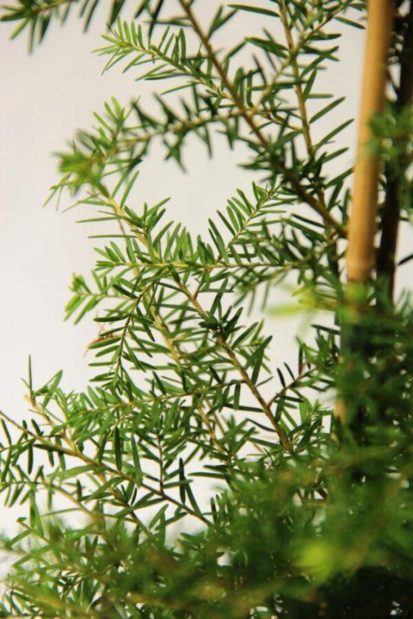 710-03681 Tsuga canadensis choina kanadyjska 3