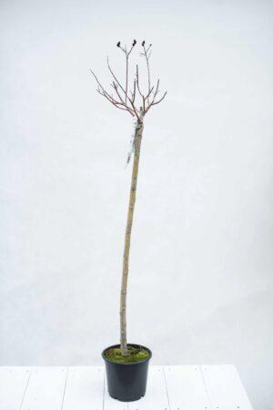 Wierzba smukloszyjkowa 'Kurome' (łac. Salix gracilistyla 'Kurome')