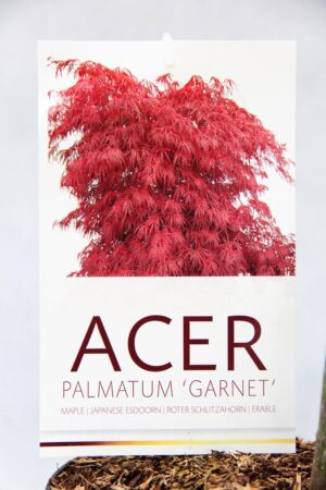 710-03957 Acer pal. 'Garnet' Klon palmowy 'Garnet' 2