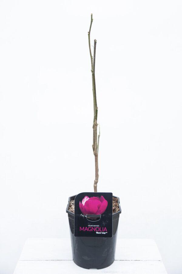 710-03988 Magnolia 'Black Tulip'